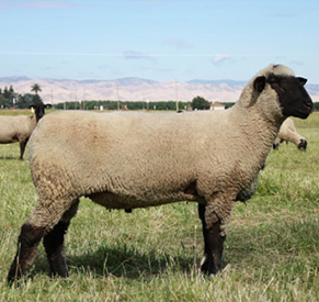 Leventini Club Lambs - Reference Sires